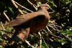 Macropygia phasianella - Brown Cuckoo-Dove