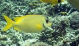 Siganus corallinus - Blue-spotted Spinefoot