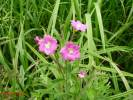 Epilobium hirsutum - Great Willowherb