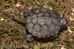 Emys orbicularis - Western Turkey pond turtle