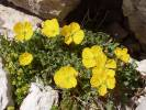 Glaucium flavum - Yellow Horned-poppy