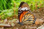 Danaus genutia - Common Tiger