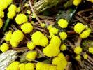 Physarum virescens