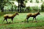 Elaphurus davidianus - Pere David's Deer