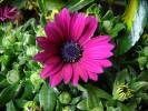 Osteospermum ecklonis - Blue and White Daisybush