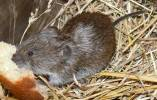 Microtus majori - Major's Pine Vole