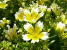 Limnanthes douglasii - Meadow-foam