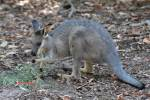Macropus irma - Black-gloved Wallaby