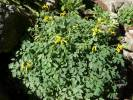 Corydalis lutea - Yellow Corydalis