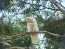 Cacatua tenuirostris - Long-billed Corella