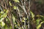 Acanthiza reguloides - Buff-rumped Thornbill