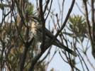 Acanthagenys rufogularis - Spiny-cheeked Honeyeater