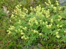 Alchemilla alpina - Alpine Lady's-mantle