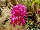 Lychnis viscaria - Sticky Catchfly