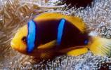 Amphiprion chrysopterus - 0000100001 1