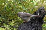 Turdoides striata - Jungle Babbler