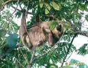 Choloepus hoffmanni - Hoffmann's Two-toed Sloth