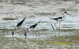 Himantopus mexicanus mexicanus - Black-necked Stilt