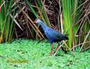 Porphyrio porphyrio poliocephalus - Grey-headed Purple Gallinule