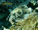 Arothron hispidus - Broadbarred Toadfish