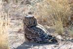 Bubo africanus - Spotted Eagle Owl