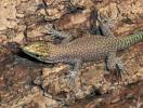 Dalmatolacerta oxycephala - Sharp-snouted Rock Lizard