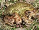 Bufo bufo - Common European Toad