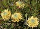 Isopogon anemonifolius - Broad-leaved Drumsticks