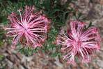 Isopogon dubius - Rose-coneflower