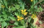 Ranunculus muricatus - Rough-fruited Buttercup
