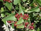 Smilax aspera - Common Smilax