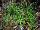 Diphasiastrum complanatum - Issler's Clubmoss
