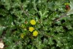 Senecio vulgaris - Common Groundsel