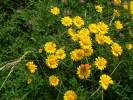 Anthemis tinctoria - Yellow Chamomile