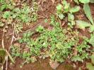Cotula australis - Annual Buttonweed
