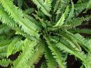 Nephrolepis cordifolia - Narrow Swordfern