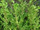 Buxus sempervirens - Common Box