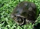 Emys orbicularis - European Pond Turtle