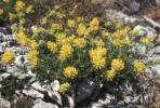 Anthyllis aurea