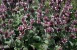 Stachys germanica - Downy Woundwort