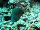 Gymnothorax javanicus - Blackpearl Moray