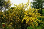 Cytisus striatus - Hairy-fruited Broom