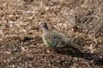 Phaps chalcoptera - Common Bronzewing