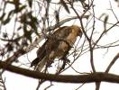 Circus approximans - Swamp Harrier