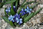 Pseudomuscari azureum - Azure Grape Hyacinth