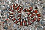 Lampropeltis pyromelana woodini - Huachuca Mountain Kingsnake
