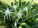 Hymenocallis littoralis - Beach Spiderlily