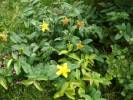 Hypericum calycinum - Rose-of-sharon