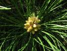 Pinus tabuliformis - Chinese Red Pine