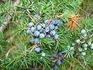 Juniperus communis - jalovec obecný